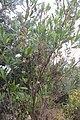 Dodonaea viscosa Jacq. (AM AK352671-2).jpg