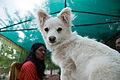 Dog in Leh in 2009.jpg