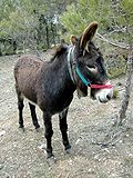 Donkey Catalan race.jpg