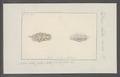 Doris luteorosea - - Print - Iconographia Zoologica - Special Collections University of Amsterdam - UBAINV0274 080 21 0006.tif