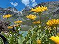 Doronic à grandes fleurs sur fond de lac blanc-et col du soufre (1).JPG