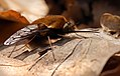 Dotted Bee-fly (Bombylius discolor), Parc de Woluwé, Brussels (26332381175).jpg