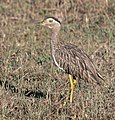 Double-striped Thick-knee, Costa Rica, January 2018 (27083948308), crop.jpg