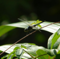 Dragonflies.png