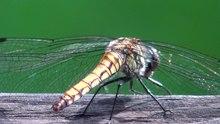 File:Dragonflies - oze national park - 2021 8 2.ogg
