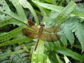 Dragonfly (5461996588).jpg