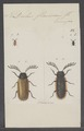 Drilus - Print - Iconographia Zoologica - Special Collections University of Amsterdam - UBAINV0274 025 07 0003.tif