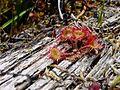 Drosera rotundifolia ne3.jpg