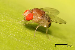 Augļmuša (Drosophila sp)
