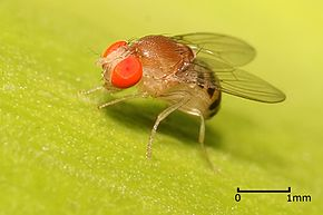 Drosophila sp.