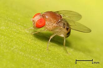 Drosophilidae - Drosophila sp.