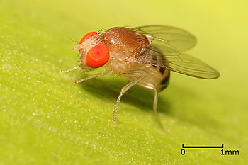 English: Drosophila sp fly. Pictured in Dar es...