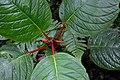 Drymonia urceolata (Gesneriaceae) (30007272322).jpg