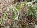 Dryopteris erythrosora - Miyajima Natural Botanical Garden - DSC02423.JPG
