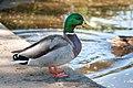 Duck (199034339).jpeg