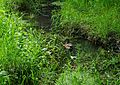 Duck on creek at Hamby Park - Hillsboro, Oregon.JPG
