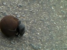 File:Dung beetle working-001.ogv
