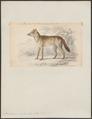 Dusicyon sylvestris - 1833-1866 - Print - Iconographia Zoologica - Special Collections University of Amsterdam - UBA01 IZ22200313.tif