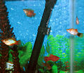 Dwarf Gourami and Platies.jpg