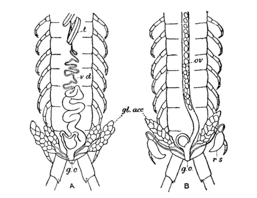 EB1911 - Centipede Fig 2. reproductive organs.png
