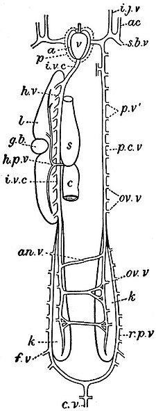 EB1911 Ichthyology - Venous System of Protopterus.jpg