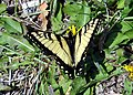 Easter Tiger Swallowtail (Papilio glaucus) (7103964285).jpg