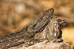 Eastern Bearded Dragon - AndrewMercer IMG13086.jpg