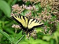 Eastern Tiger Swallowtail (27957259979).jpg