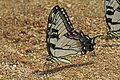 Eastern Tiger Swallowtail - Papilio glaucus, Prince William Forest Park, Woodbridge, Virginia.jpg