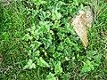 Ecballium elaterium, (Πικραγγουριά) - panoramio.jpg