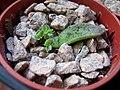 Echeveria Setosa leaf cutting (5876624340).jpg