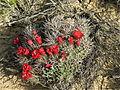 Echinocereus triglochidiatus (2499725011).jpg