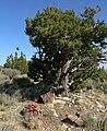 Echinocereus triglochidiatus 15.jpg