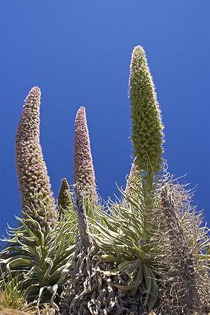 Echium wildpretii - Echium wildpretii ssp. trichosiphon from La Palma