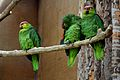 Ecuadorian Amazon Parrot at Chester Zoo 1.jpg