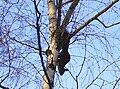 Eichhörnchen an Birke.jpg