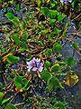 Eichhornia azurea 001.JPG