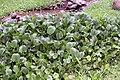 Eichhornia crassipes 76zz.jpg