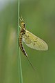 Eintagsfliege, Ephemeroptera.JPG