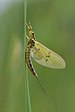Mayflies - Photo (c) This Photo was taken by Böhringer Friedrich., some rights reserved (CC BY-SA)
