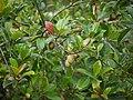 Elaeocarpus serratus (8582717791).jpg