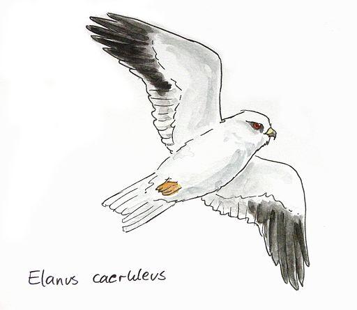 Elanus caeruleus drawing
