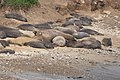 Elephant Seal Fish Docks Pt Reyes Marin CA 2019-03-04 12-23-45 (48032311471).jpg