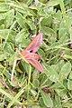 Elephant hawk moth.mittlerer Weinschwaermer 1.jpg