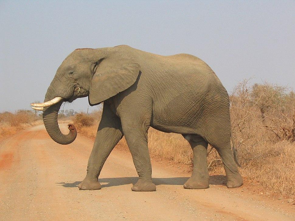 Elephant side-view Kruger