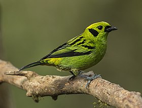 Emerald Tanager - San Luis - Costa Rica MG 1694 (26584929732).jpg