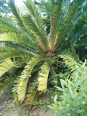 Encephalartos natalensis - Image: Encephalartos natalensis Kirstenbosh Bot Gard 09292010B