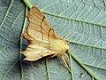 Ennomos erosaria - September thorn - Угловатая пяденица берёзовая (40883124892).jpg