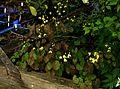 Epimedium platypetalum - Flickr - peganum (1).jpg