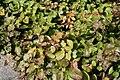 Epimedium x versicolor Sulphureum 1zz.jpg